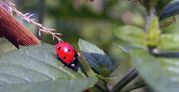Ladybugs as a Natural Pesticide with Adelphi Green