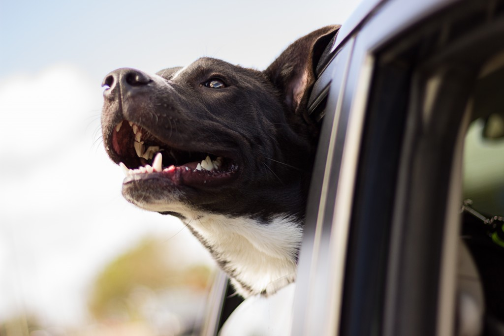 Top Tips For Traveling With Your Dog: Taking them along on any outing can add to the fun unless you neglect to take the proper steps.