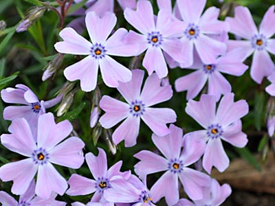 Creeping Phlox, http://www.weknowstuff.us.com/