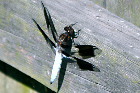 Dragonfly, www.weknowstuff.us.com