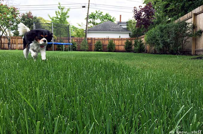 These 8 Dog Friendly Ideas offers you several landscaping ideas for backyards with dogs. Also includes plants that are bad for dogs and some safe plants for dogs too!